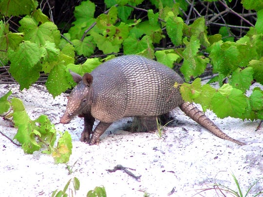 An Armadillo looks for food in the Enchanted Forrest Sanctuary in Indian River City.