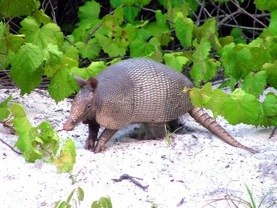 The armadillo wandered into Florida, perhaps intending