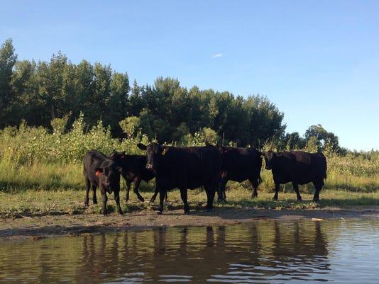 Cattle Futures