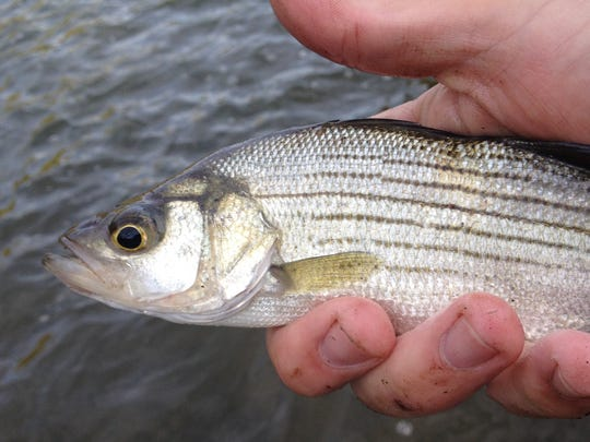 Reporter Ryan Sabalow holds a white bass caught in an urban stream.