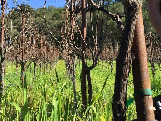 Storrs vineyard cover crop- I.jpg