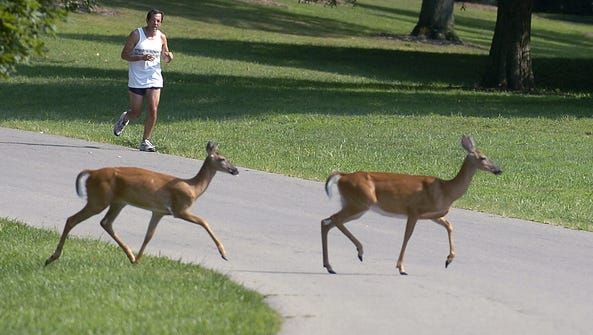 Deer are common in Cincinnati's Mount Airy Forest,