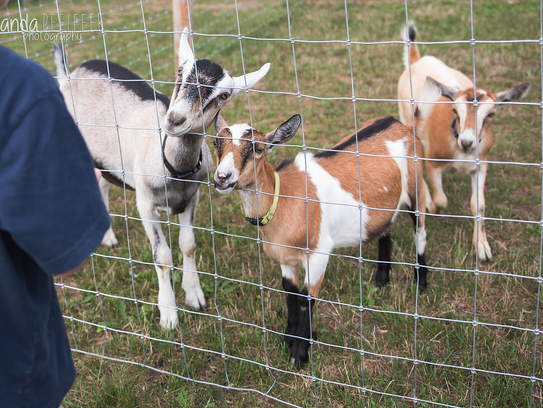 Goats at Shady Maple