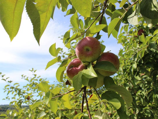 Apples on a tree at Chapin Orchard in Essex