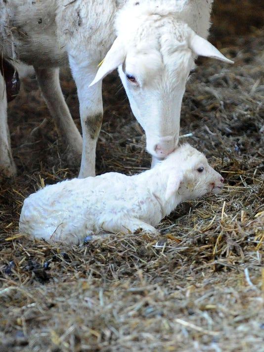 Raising Sheep