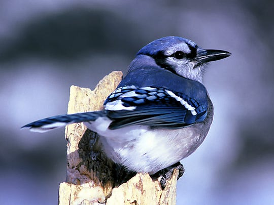 Peanuts, a favorite winter feeder food of birds like this blue jay, also attract chickadees, titmice, juncos, nuthatches, sparrows and  woodpeckers.