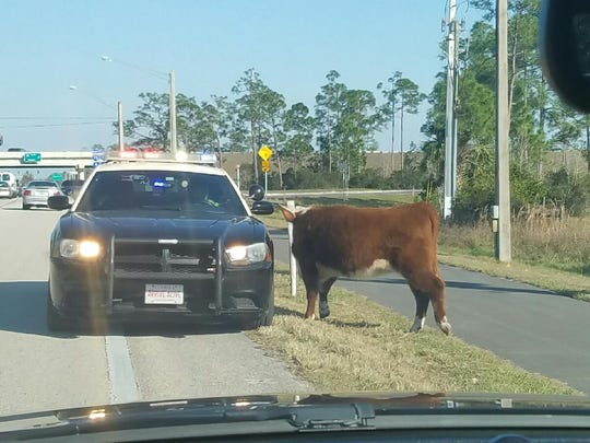The Lee County Sheriff's Office and Florida Highway Patrol helped save a cow from crossing I-75 Saturday afternoon.