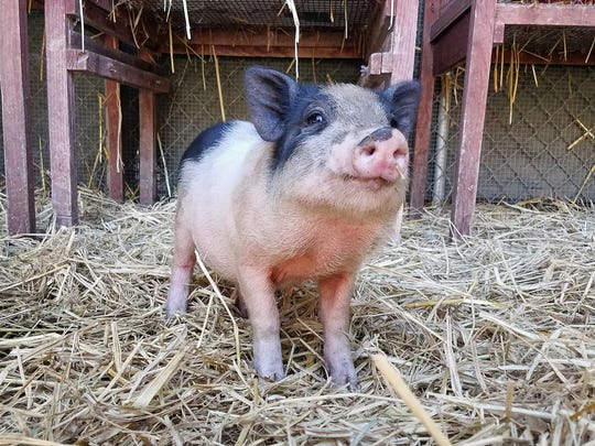 Thesmall male pig was found on the Fourth of July on Chualar Canyon Road.