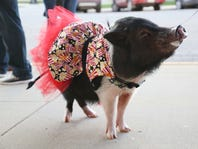 Joy, the 4-year-old mini pig, does tricks outside the Capital II Theater in Newton.