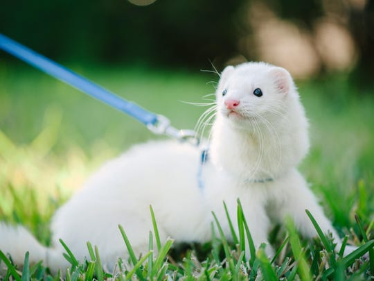 The Ferret 500 takes place from 9:30 a.m. to 6:00 p.m. June 4 at the Marion County Fairgrounds.