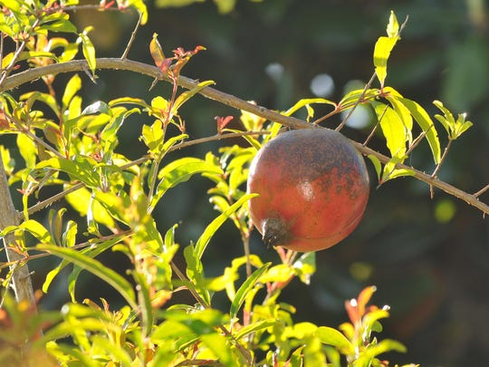 Pomegranates are rich in vitamin C, with one fruit providing 40 percent of your daily requirement.
