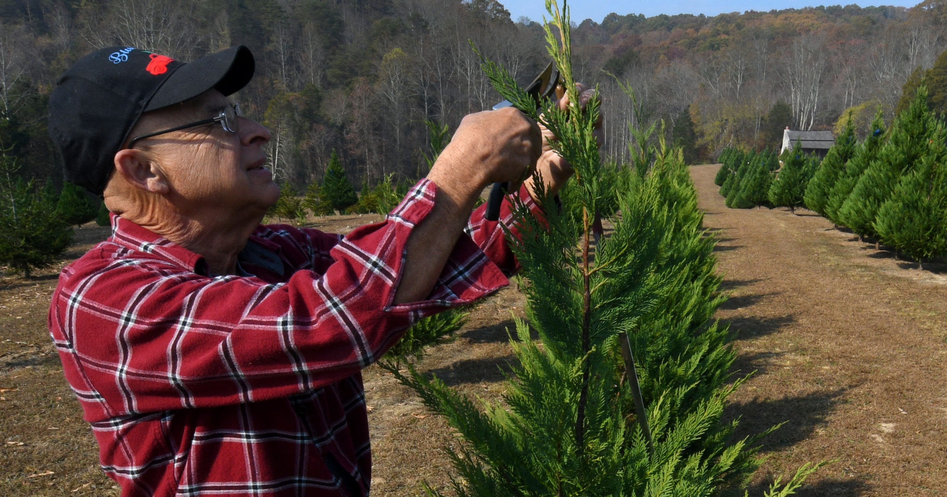 Knoxville And Regional Christmas Tree Farms Opening For