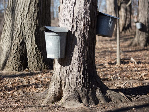 Taps are drilled into a maple tree with buckets to