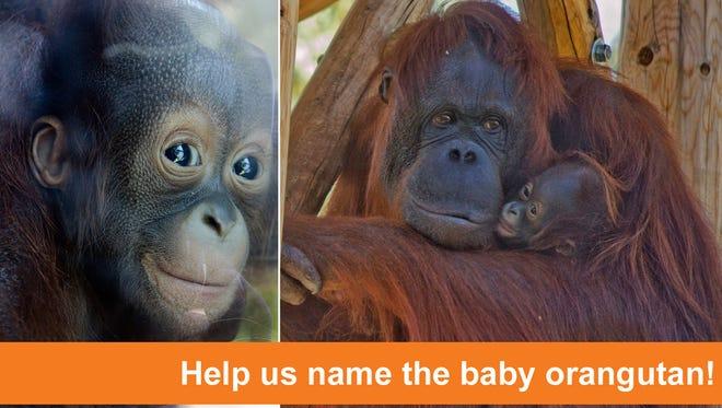 Baby orangutan at the Phoenix Zoo needs a name.