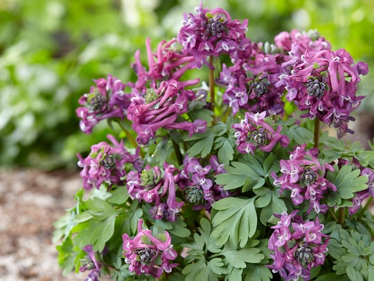 Purple Bird Corydalis prefers light shade and moist but well-drained soil.