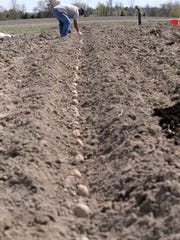 Gopal Giri finishes up planting a long row of potatoes Friday, at the Greater Lansing Food Bank's community garden and CSA field. The potatoes will be used in the food bank's CSA boxes for customers.