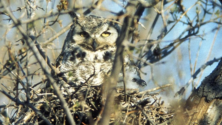 Great horned owls remain here all winter, eating, even