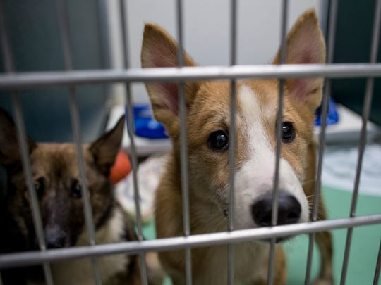 A Norwegian buhund puppy looks out from a pen Friday, June 17, 2016 at the Blue Water Area Humane Society, 6226 Lapeer Road in Clyde Township. The shelter was surrendered 6 of the 98 dogs taken from a Cottrellville Township home this week.