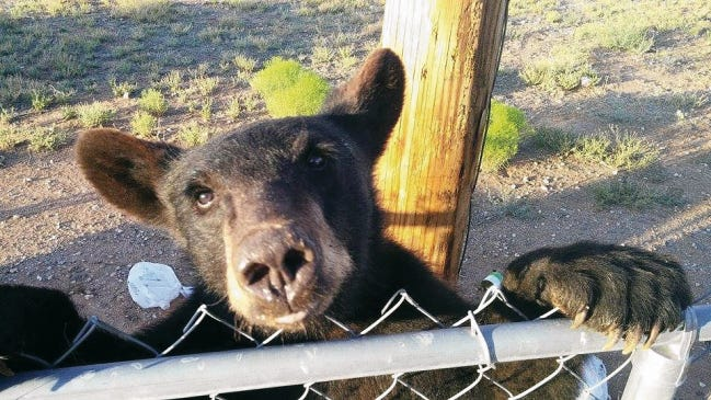 Bears have been known to forage in lower lands in search of a meal in the Gila National Forest. Courtesy photo