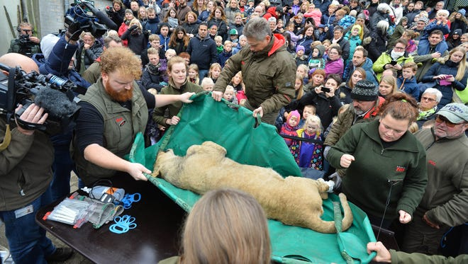A dead male lion is carried to the table to be prepared for public dissection in front of children in Odense Zoo, Denmark on Oct 15, 2015.