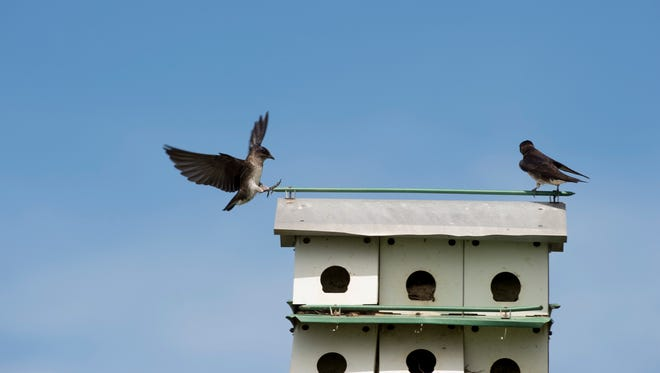Purple martins have arrived at the Newburgh waterfront park recently. The acrobatic birds are in a nearly constant state of flying and feeding their young.