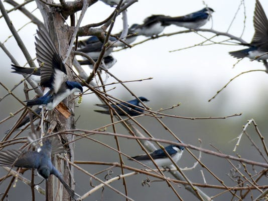 A group of tree swallows congregates in a tree.