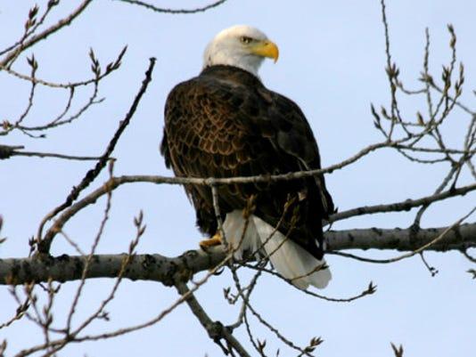 635875324991756218-Eagle-Yard-Small.jpg