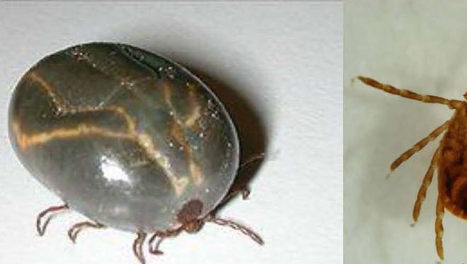 The longhorned tick full, left, and adult.
