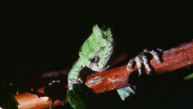 Gray tree frogs prefer to call under cover of darkness on warm nights. Early in spring they will call during the daytime, too, when temperatures rise above 60 degrees. Have you heard their vibrant trill?