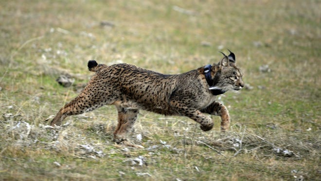 A file picture taken  Dec. 14, 2009, shows a lynx being released during the first experimental reintroduction of two Iberian lynxes in Villafranca de Cordoba, southern Spain.