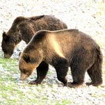 A reader spotted these grizzly bears in Glacier National Park.