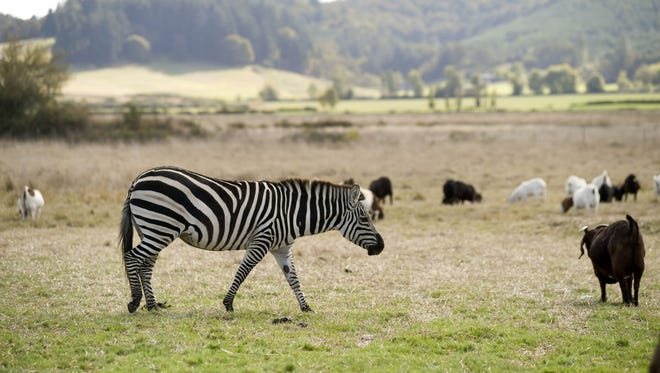 Zinfandel, a female Grant's zebra, keeps a close eye on a herd of goats on a farm in Oregon.