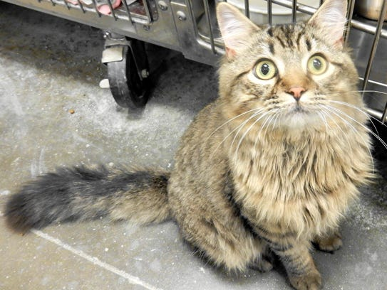 Earl Grey is a 9-month-old, neutered, male long-haired,