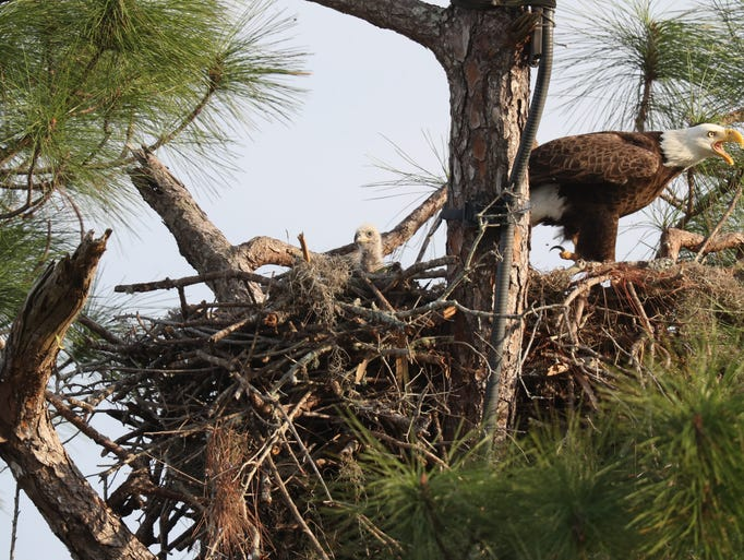 E9 eaglet from ... Eagle Cam Pritchett