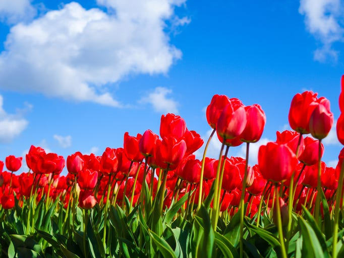 Red tulips stand out against the blue sky of Holland