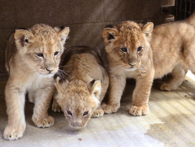 The three new lion cubs on Friday, January 12, 2018.