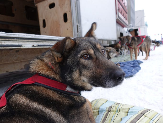 One of the 16 sled dogs Nicolas Petit will use in the
