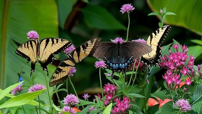 Truffula Pink gomphrena hosts a 'Garden Party of Swallowtails' at The Garden Guy's house.