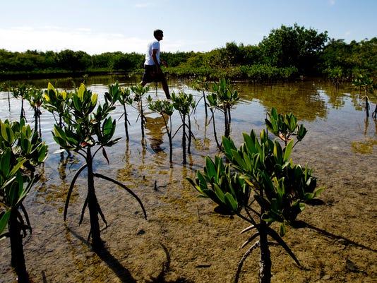 mangroves01a.jpg