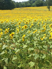 The sunflowers are beneficial to the soil, wildlife
