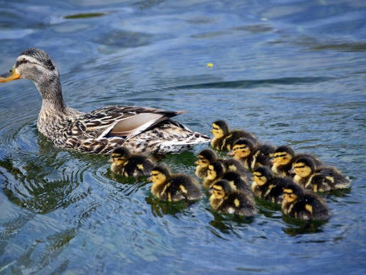 A mallard duck hen talks her ducklings for a swim. Ducks and geese are some of many wild creatures out and about that can become a fatality by vehicle.