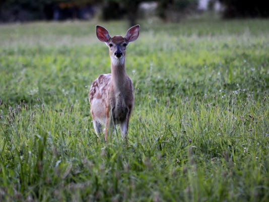 A fawn lies in a patch of high grass, which is a place where ticks are often found.