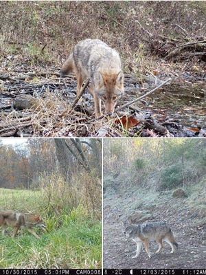 Coywolves? What you are seeing are coyotes, according to the Indiana Department of Fish and Wildlife.