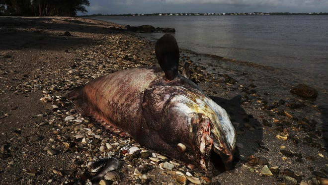 Dead sea life is still washing up on the shores of Southwest Florida. Two large Goliath groupers were seen on the Sanibel Causeway on Wednesday, Aug. 1, 2018. On Tuesday a dead manatee was found in the river and towed by the Florida Fish and Wildlife Conservation Commission to the Cape Coral Yacht Club boat ramp during a public meeting with the Army Corps of Engineers. A red tide event is the suspected killer.