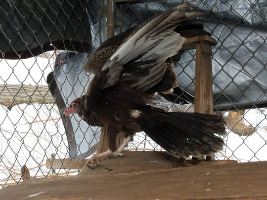A view of a turkey vulture, photographed March 3, 2015 and being cared for by wildlife rehabilitator Marilyn Leybra at her home in Pomona. She says the brutal winter almost killed the wild bird.