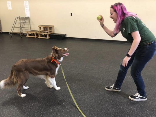 "Student trainer Samantha Springstead works with Finn, a border collie at the State University of New York, Cobleskill, in Cobleskill, N.Y. The four-year program in ""canine training and management"" officially launches in the fall of 2019."