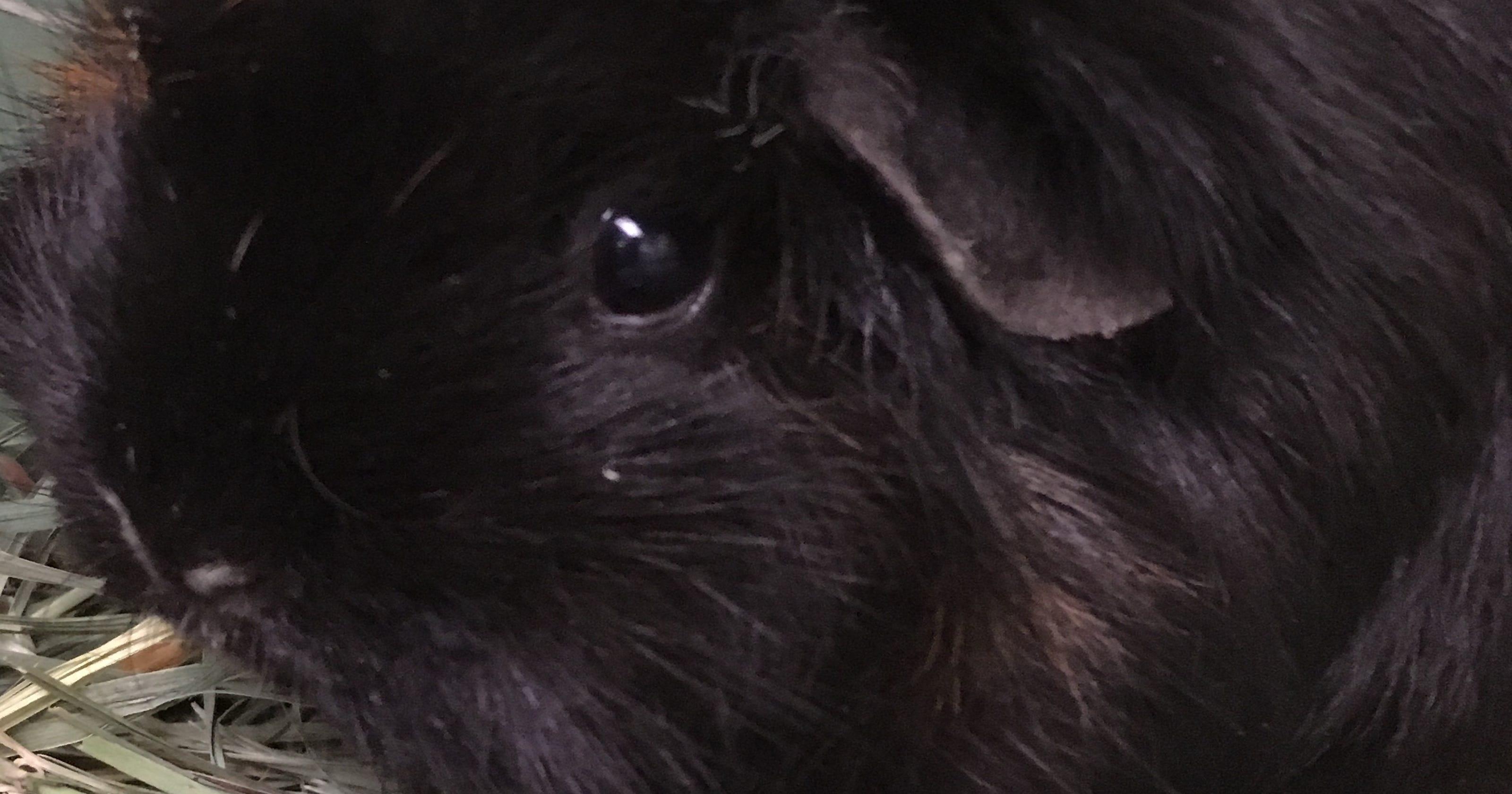 oshkosh northwestern pet of the week henrietta the guineau pig. Black Bedroom Furniture Sets. Home Design Ideas