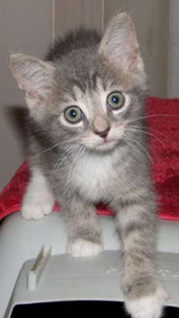 Sakima is an adorable young man, he is gray tabby with buff highlights on his face.  He loves running and playing with his siblings and cuddling with his foster mama Darja.  Sakima is an aggressive eater which may be because they had to fend for themselves until they got to us, he may outgrow it but for now we feed them on separate dishes. His shelter number is  AFS  94153 (Corallo kitty)