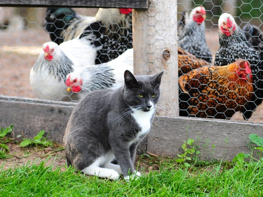 Alphonse makes a stop by the chicken coop at Heritage Hill State Historical Park in Allouez. He's one of three cats on staff at the park as a mouser.