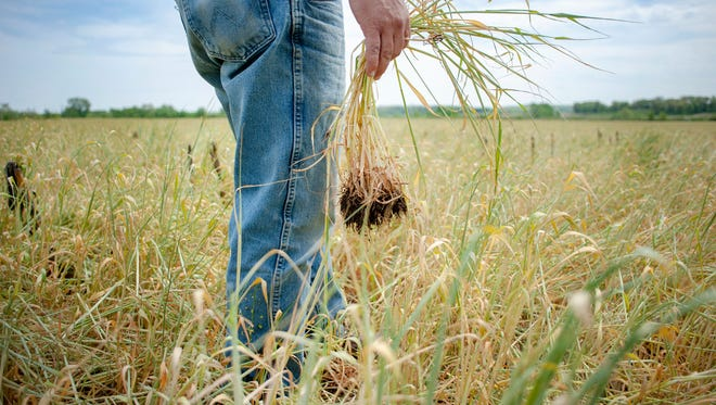 Crop insurance pays farmers who raise major commodities, such as wheat and corn, when crop yields or revenues drop below certain levels.